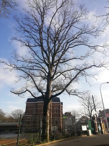 Erable sycomore – Molenbeek-Saint-Jean, Chaussée de Ninove, 1001 –  05 Février 2021