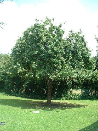 Pommier sauvage – Molenbeek-Saint-Jean, Chaussée de Ninove, 1001 –  06 Juillet 2004