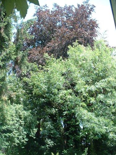 Hêtre pourpre – Molenbeek-Saint-Jean, Chaussée de Ninove, 1001 –  06 Juillet 2004
