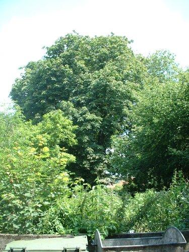 Witte paardenkastanje – Sint-Jans-Molenbeek, Ninoofsesteenweg, 1126 –  06 Juli 2004