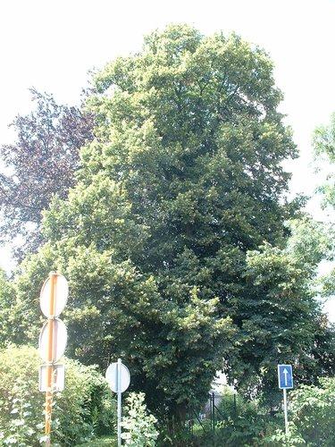 Zomerlinde – Sint-Jans-Molenbeek, Ninoofsesteenweg, 1122 –  06 Juli 2004