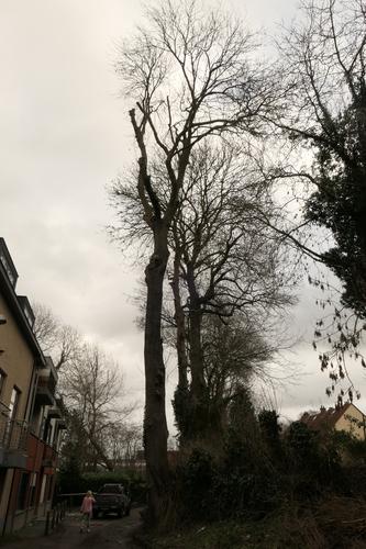 Frêne commun – Anderlecht, Rue Van Soust –  17 Février 2021