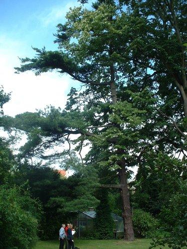 Pinus sp – St.- Pieters - Woluwe, Tervurenlaan, 245 –  08 Juli 2004