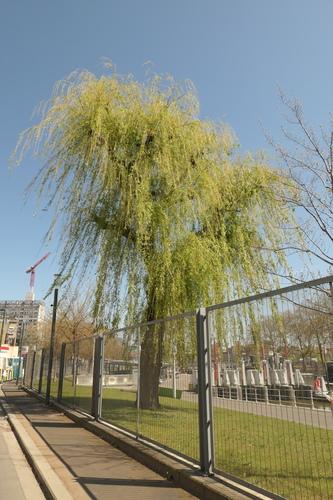Saule pleureur – Molenbeek-Saint-Jean, Quai de Mariemont, 2 –  23 Avril 2021