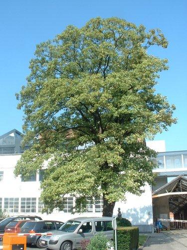 Acer pseudoplatanus f. aureovariegatum – Molenbeek-Saint-Jean, Rue Osseghem, 53 –  11 Août 2004