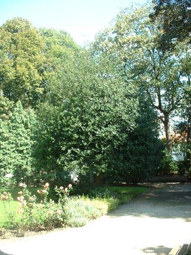 houx – Molenbeek-Saint-Jean, Rue Vandernoot, 29 –  18 Août 2004