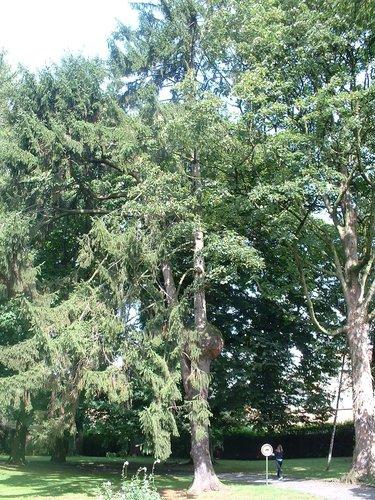 Gewone spar – Jette, Park van de Sans Souci kliniek, Wereldtentoonstellingslaan, 218 –  20 August 2004