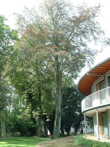 Rode beuk – Jette, Park van de Sans Souci kliniek, Wereldtentoonstellingslaan, 218 –  20 August 2004