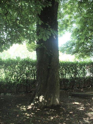 Marronnier commun – Jette, Parc de la clinique Sans Souci, Avenue de l'Exposition Universelle, 218 –  20 Août 2004