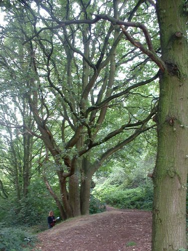 Chêne pédonculé – Jette, autre: zone sauvage –  30 Août 2004