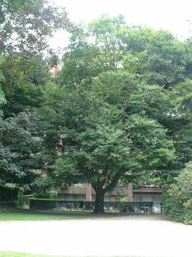 Fagus grandifolia – Uccle, Parc Cherridreux, parc privé –  16 Août 2005