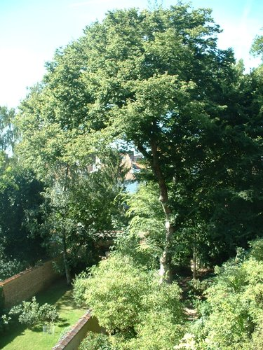 Zelkova du Japon – Uccle, Avenue Brugmann, 291 –  09 Septembre 2004