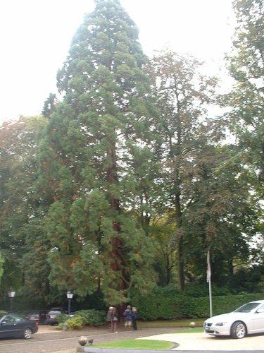 Sequoia géant – Uccle, Propriété Fond'Roy, Avenue du Prince d'Orange, 49-51 –  27 Septembre 2004