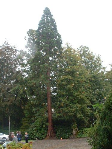 Mammoetboom – Ukkel, Fond'Roy domein, Prins van Oranjelaan, 49-51 –  27 September 2004