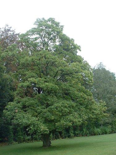 Acer pseudoplatanus f. aureovariegatum – Uccle, Propriété Fond'Roy, Avenue du Prince d'Orange, 49-51 –  27 Septembre 2004