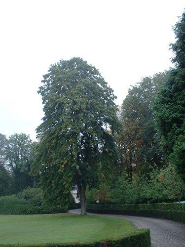 Tilleul argenté pleureur – Uccle, Propriété Fond'Roy, Avenue du Prince d'Orange, 49-51 –  27 Septembre 2004