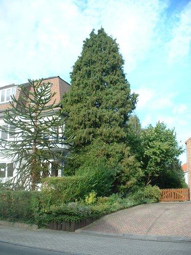 Faux-cyprès de Lawson – Auderghem, Avenue Hugo Van der Goes, 55 –  12 Octobre 2004