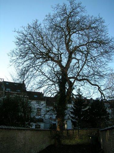 Noyer royal – Bruxelles, Avenue Michel-Ange, 69 –  10 Janvier 2005