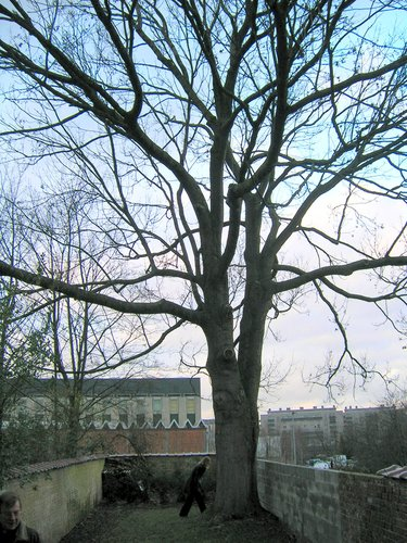Frêne commun – Schaerbeek, Rue Colonel Bourg, 58 –  21 Janvier 2005