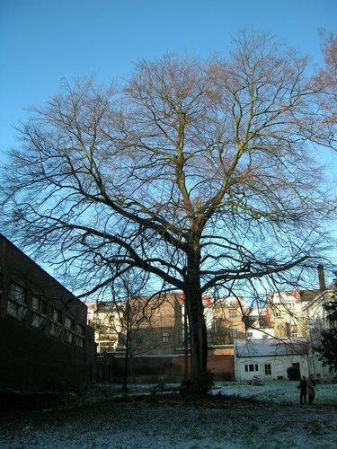 Hêtre pourpre – Schaerbeek, Avenue Louis Bertrand, 37 –  24 Janvier 2005