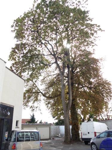 Hemelboom – Vorst, Domein van Zijderupsenkwekerij, Minervalaan, 39 –  21 September 2017