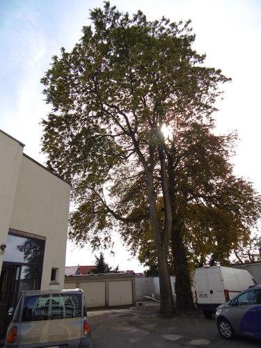 Marronnier commun – Forest, Domaine de la Magnanerie, Avenue Minerve, 39 –  21 Septembre 2017