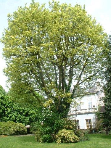 Acer pseudoplatanus f. aureovariegatum – Anderlecht, Rue Docteur Jacobs, 4 –  28 Avril 2005