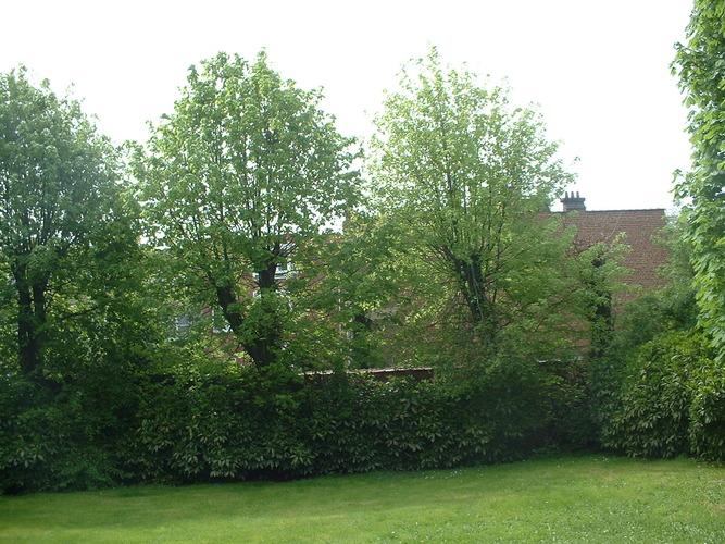 Tilleul à larges feuilles – Anderlecht, Rue Docteur Jacobs, 4 –  28 Avril 2005