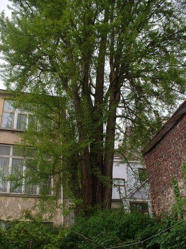 Arbre aux quarante écus – Schaerbeek, Chaussée de Haecht, 256 –  29 Avril 2005