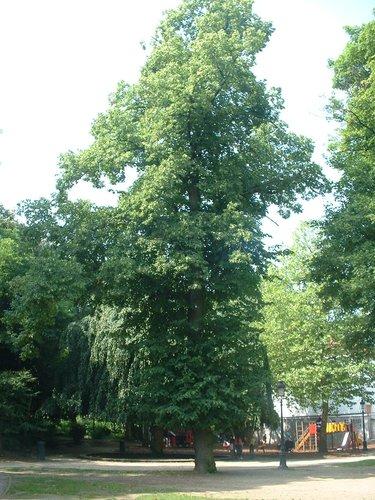 Tilleul à larges feuilles – Jette, Parc Garcet, parc –  13 Juillet 2005
