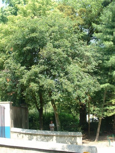 Aubépine – Jette, Parc Garcet, parc –  13 Juillet 2005