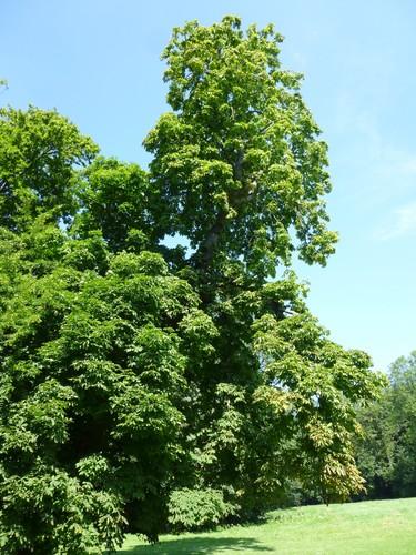 Charme commun – Jette, Parc Roi Baudouin phase 1, parc –  25 Juillet 2014