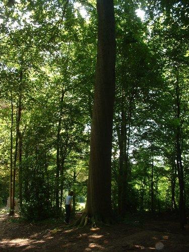 Hêtre d'Europe – Jette, Parc Roi Baudouin phase 1, parc –  15 Juillet 2005