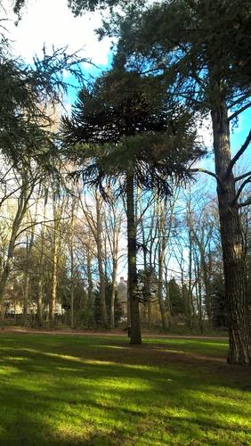 Araucaria du Chili – Bruxelles, Bois de la Cambre –  17 Décembre 2020