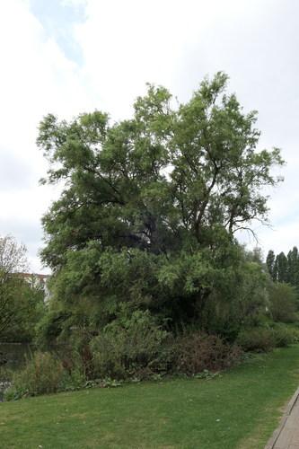 Salix babylonica 'Tortuosa'<br>Jette Koning Baudouwijnpark 2