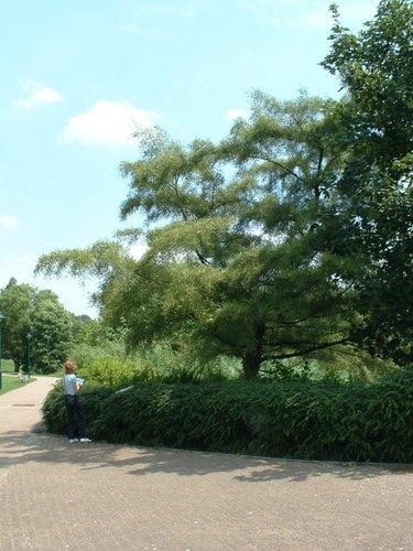 Alnus glutinosa var. imperialis – Jette, Parc Roi baudouin phase 2, parc –  15 Juillet 2005