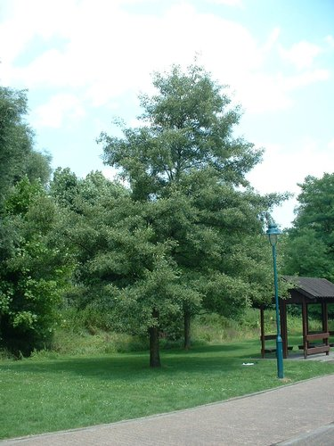 Alnus glutinosa var. laciniata – Jette, Parc Roi baudouin phase 2, parc –  15 Juillet 2005