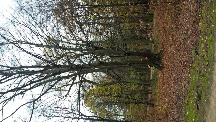 Charme commun – Bruxelles, Bois de la Cambre –  01 Décembre 2020