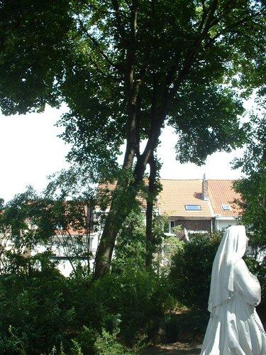 Acer pseudoplatanus f. aureovariegatum – Jette, Place de la Grotte et jardin public, Rue Léopold I –  19 Juillet 2005