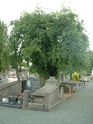 Frêne pleureur – Jette, Cimetière de Jette, Avenue Secrétin –  19 Juillet 2005