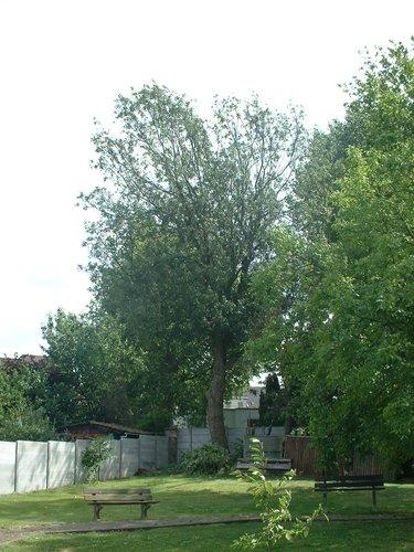 Frêne commun – Jette, parc –  19 Juillet 2005