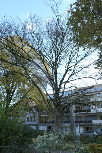 Acer pseudoplatanus f. aureovariegatum – Jette, Parc Huybrechts, Rue Rosalie Uyttenhove –  19 Novembre 2019