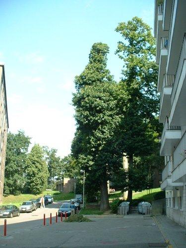 Châtaignier – Auderghem, Parc Lambin, Avenue Léopold Florent Lambin –  03 Août 2005