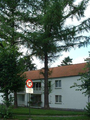 Mélèze d'Europe – Auderghem, Rue Emile Rotiers –  02 Août 2005