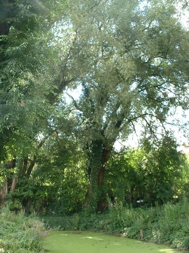 Saule blanc – Auderghem, Etang de la rue de la Vignette, autre: site semi-naturel –  04 Août 2005
