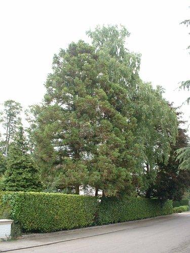 Japanse ceder – Oudergem, Louis Vercauterenlaan, 25 –  08 August 2005