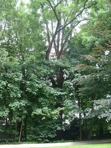Zwarte of Amerikaanse noot – Ukkel, Cherridreuxpark, parc privé –  16 August 2005