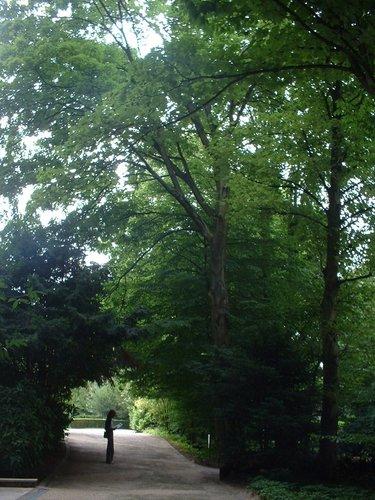 Erable plane – Uccle, Parc Cherridreux, parc privé, 144 –  16 Août 2005