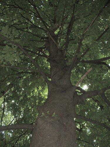 Marronnier commun – Uccle, Parc Cherridreux, parc privé –  16 Août 2005