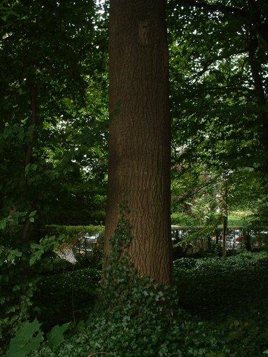 Gewone es – Ukkel, Cherridreuxpark, parc privé –  16 August 2005